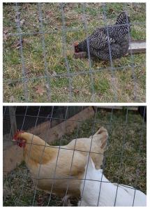 appalachia star farm chickens